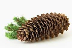 Cono grande del pino con la ramita del pino Foto de archivo