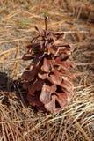 Cono grande del pino en la tierra cubierta con las agujas del pino Imágenes de archivo libres de regalías