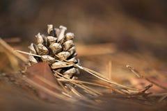 Cono hermoso del pino Fotos de archivo libres de regalías