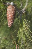 Cono hermoso del pino por completo de las semillas que cuelgan de un árbol de pino foto de archivo