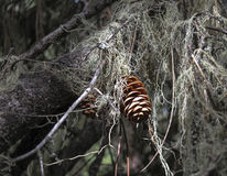 Cono iluminado por el sol del pino en un bosque oscuro Fotografía de archivo