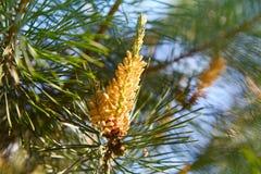 Cono joven del brote del pino Riñón del pino fotografía de archivo libre de regalías