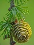 Cono joven del pino del alerce Imagen de archivo libre de regalías