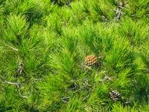 Cono joven del pino en el fondo de las agujas verdes del pino fotos de archivo libres de regalías