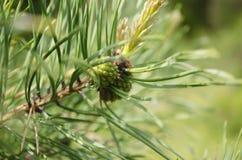 Cono joven del pino en una rama Imágenes de archivo libres de regalías