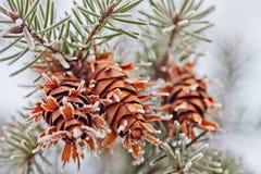 Cono maduro en la rama del abeto azul azul, verde, blanco, picea azul de Colorado, pungens de la Picea cubiertos con Año Nuevo de Imagen de archivo
