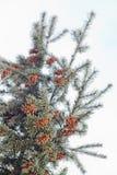 Cono maturo sul ramo dell'abete blu blu, verde, bianco, abete rosso blu di Colorado, picea pungens coperto di nuovo anno di brina Immagini Stock