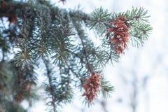 Cono maturo sul ramo dell'abete blu blu, verde, bianco, abete rosso blu di Colorado, picea pungens coperto di nuovo anno di brina Immagini Stock Libere da Diritti