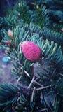 Cono rosado del pino Imágenes de archivo libres de regalías