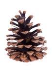 Cono seco del pino aislado en blanco Fotografía de archivo libre de regalías