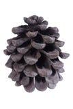 Cono seco del pino aislado en blanco Imagenes de archivo