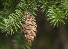 Cono sempreverde dell'albero di abete Fotografie Stock Libere da Diritti