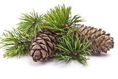 Cono siberiano del pino con la ramificación Imagen de archivo libre de regalías