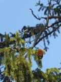 Cono solitario en árbol de pino fotografía de archivo