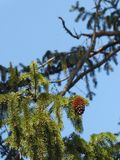 Cono solitario sul pino fotografia stock