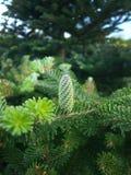 Cono verde del pino Immagini Stock Libere da Diritti
