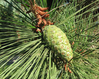 Cono verde del pino Foto de archivo