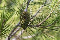 Cono verde del pino Fotografie Stock Libere da Diritti