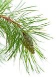 Cono verde su una filiale del pino Fotografia Stock