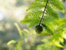 Cono y follaje del árbol conífero Fotografía de archivo