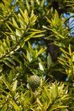 Cono y hojas del árbol del Kauri Imágenes de archivo libres de regalías