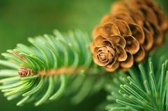 Cono y ramificaciones del pino Imágenes de archivo libres de regalías