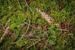 Cono y ramitas del pino en musgo Imagen de archivo