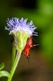 Conocephalus Melas tiny red Cricket. Close up Conocephalus Melas tiny red black Cricket on grass flower (Bush Crickets or Katydids) taken in Thailand Royalty Free Stock Image