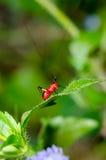 Conocephalus Melas tiny red Cricket. Close up Conocephalus Melas tiny red black Cricket on green leaf (Bush Crickets or Katydids) taken in Thailand Stock Photos