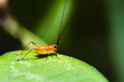 Conocephalus Melas tiny red young Cricket. Close up Conocephalus Melas tiny red-black young Cricket is a species of Tettigoniidae (bush-crickets or katydids) Royalty Free Stock Images