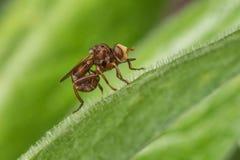Conopid komarnica Fotografia Stock