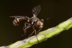 conopid komarnicy głowiasty gęsty Obrazy Stock