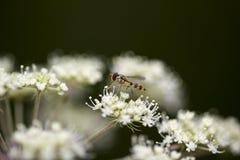 Conopidae auf aegopodium Stockfoto