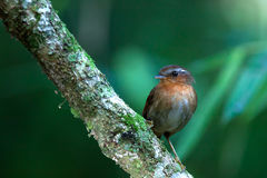 Conopophaga lineata (Rufous Gnateater). In Misiones, Argentina Royalty Free Stock Photography