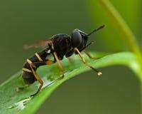 Conops quadrifasciatus fly Royalty Free Stock Photo