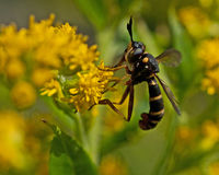 Conops quadrifasciatus fly. On a yellow flower on close-up Royalty Free Stock Image