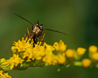 Conops quadrifasciatus fly Stock Photos