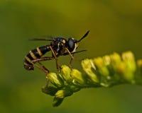Conops quadrifasciatus fly Stock Images