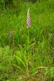 Conopsea Gymnadenia Στοκ Εικόνες