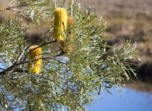 Conos amarillos de la flor del Banksia del pantano Fotografía de archivo