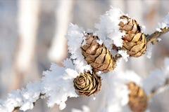 Conos con los cristales de la nieve Fotos de archivo