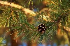conos de abeto en un día soleado del otoño foto de archivo