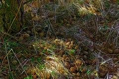 conos de abeto que mienten en la hierba cerca del árbol en luz del sol Imagenes de archivo