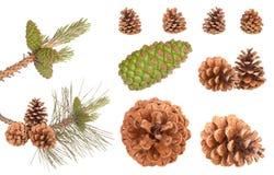 Conos de la ramificación del pino Imágenes de archivo libres de regalías