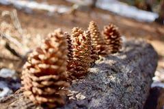 Conos de los pinos en fila imagenes de archivo