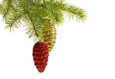 Conos de oro y rojos en árbol de abeto Imágenes de archivo libres de regalías