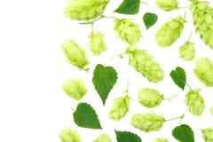 Conos de salto aislados en el fondo blanco Cerveza que elabora los ingredientes Concepto de la cervecer?a de la cerveza Fondo de  imagen de archivo