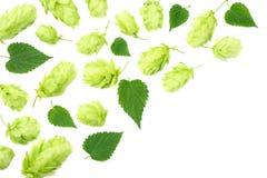 Conos de salto aislados en el fondo blanco Cerveza que elabora los ingredientes Concepto de la cervecer?a de la cerveza Fondo de  fotografía de archivo libre de regalías