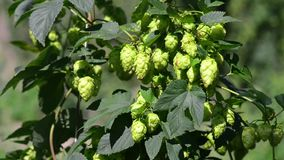 Conos de salto frescos verdes para hacer el primer de la cerveza y del pan Fondo agrícola almacen de video