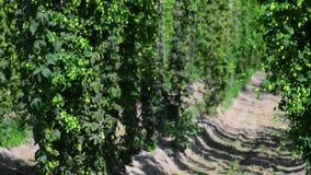 Conos de salto frescos verdes para hacer el primer de la cerveza y del pan Fondo agrícola metrajes
